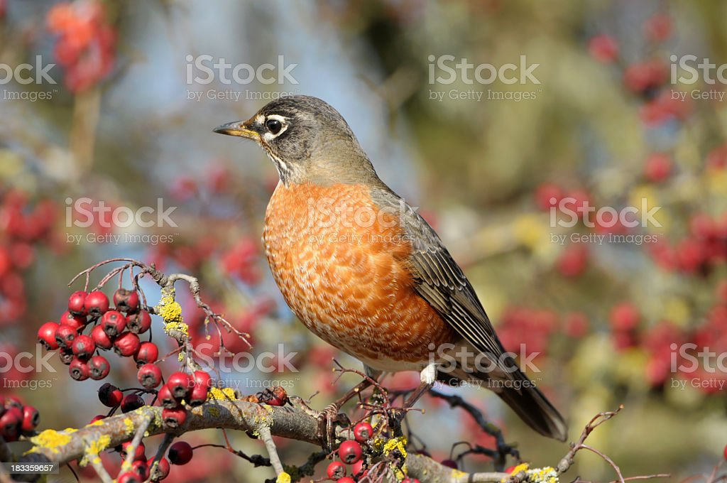 American Robin with berries royalty-free stock photo