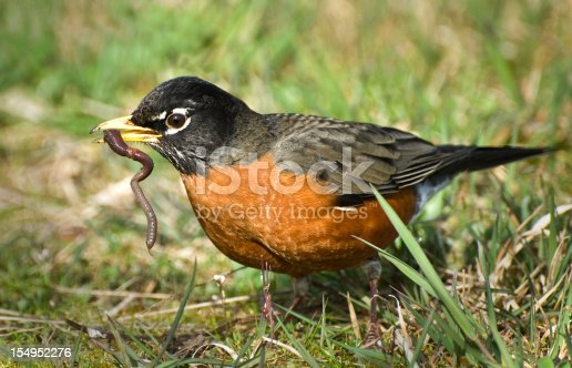 American Robin and a great catch!