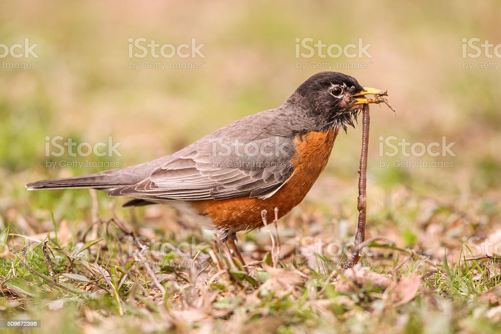 American Robin With Worm stock photo