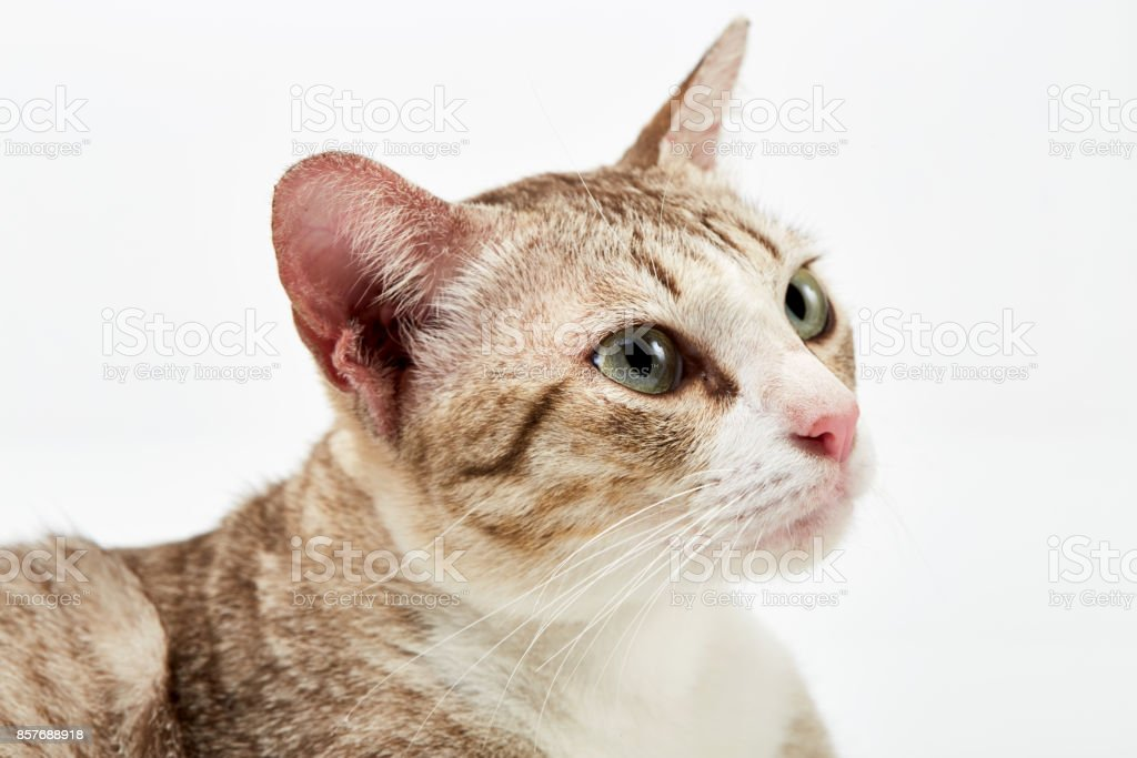 American Short hair cat lying on white stock photo