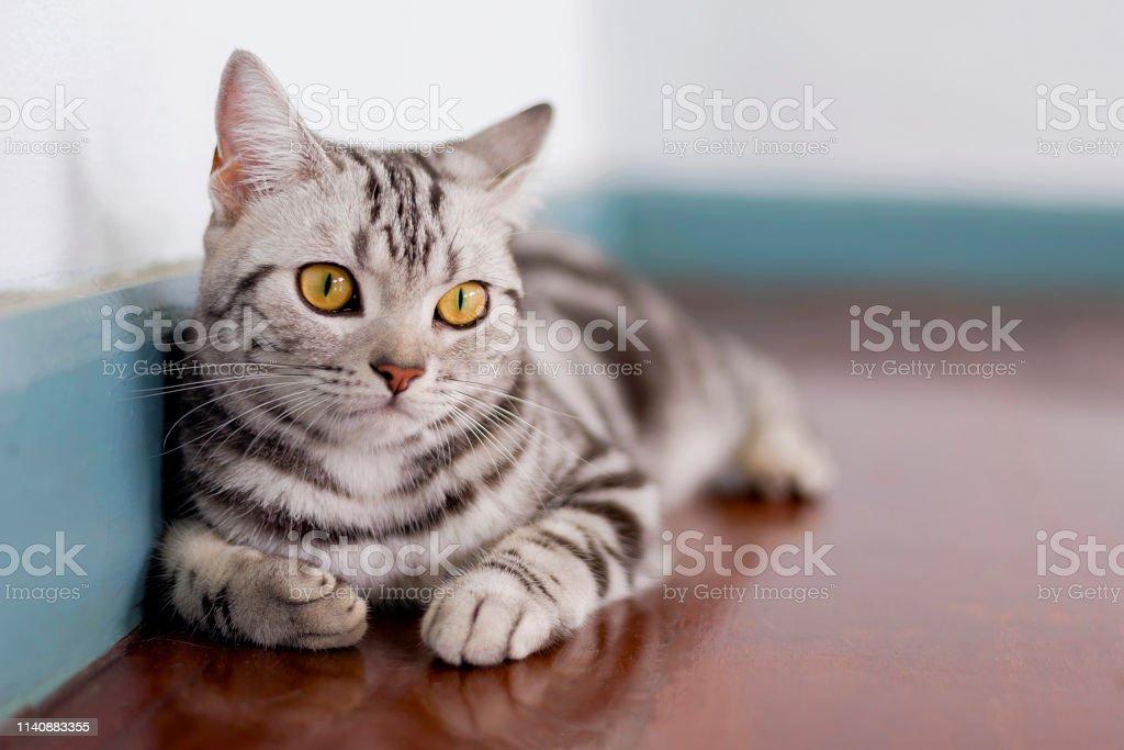 部屋の中のアメリカのショートヘア猫 - ショートヘア種の猫のロイヤリティフリーストックフォト