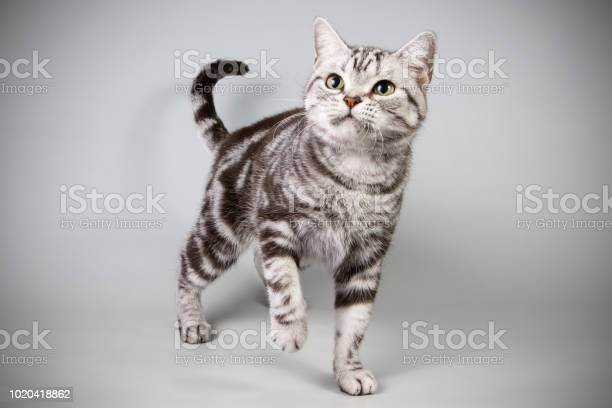 American shorthair cat on colored backgrounds picture id1020418862?b=1&k=6&m=1020418862&s=612x612&h=fwf5zvpyg sut6tfjh zelf35z0bd5lzdwin zfgwbe=