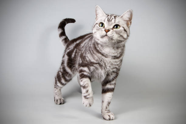 American shorthair cat on colored backgrounds stock photo