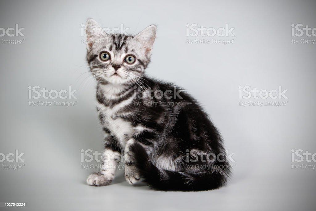 amerikaanse korthaar kat op een gekleurde achtergrond stockfoto en