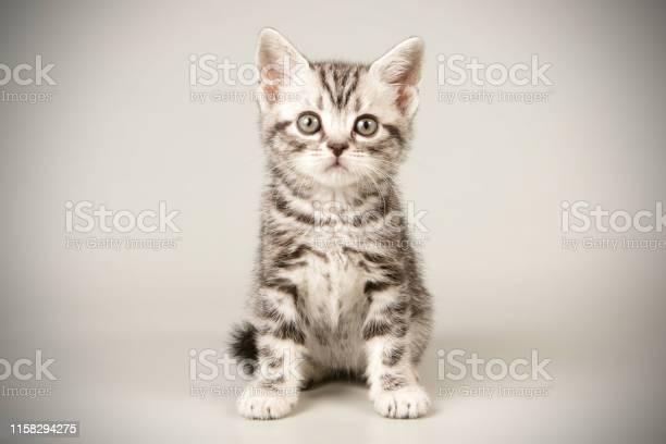 American shorthair cat on colored backgrounds picture id1158294275?b=1&k=6&m=1158294275&s=612x612&h=qil6ymhijnuxgnrmqqqx7uxashj1rjtqxiizbxfll28=