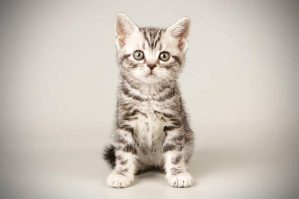 American shorthair cat on colored backgrounds picture id1158294275?b=1&k=6&m=1158294275&s=612x612&w=0&h=esftdiypwe px f6qy9gkcjugsrz2kbskkcmvvanxvq=