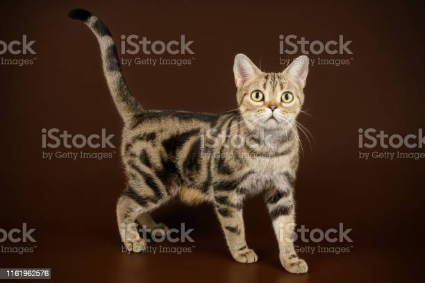 American shorthair cat on colored backgrounds picture id1161962576?b=1&k=6&m=1161962576&s=612x612&h=b6c crpiwlpujtbb0gztb kw961tqpwxptmgjcielpa=