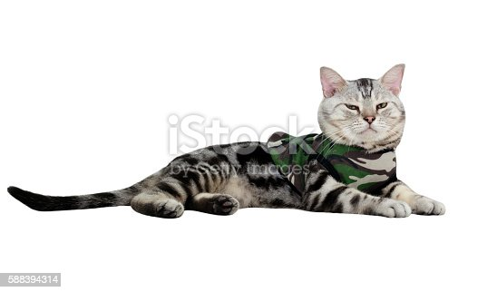 626958754 istock photo American shorthair cat on Military T-shirt. Isolated on white ba 588394314