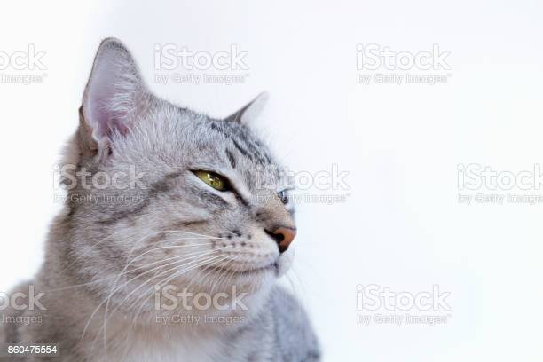 American shorthair cat with yellow eyes sitting and looking something picture id860475554?b=1&k=6&m=860475554&s=612x612&h=vahep4cdf tgawm2z17w0xnkixzj4rkrapdfmsz3798=