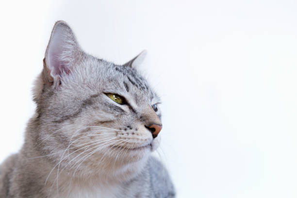 American shorthair cat with yellow eyes sitting and looking something picture id860475554?b=1&k=6&m=860475554&s=612x612&w=0&h=wtjb1a5ge kmgtpnn03 ykmsd7s0oz2b8d2q4yev9ia=