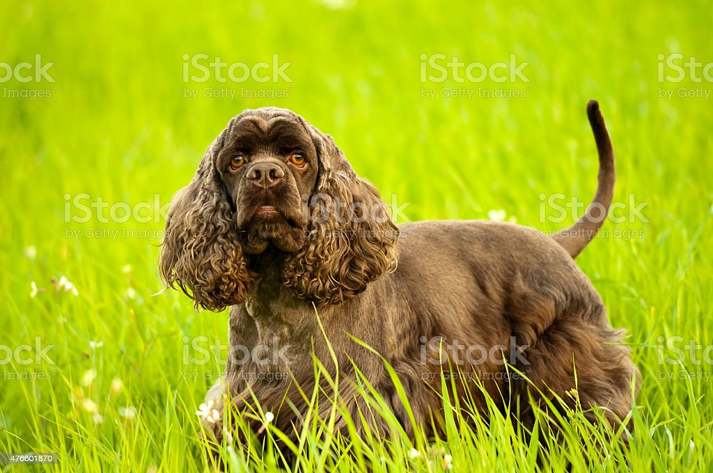 american spaniel stands in a green field stock photo
