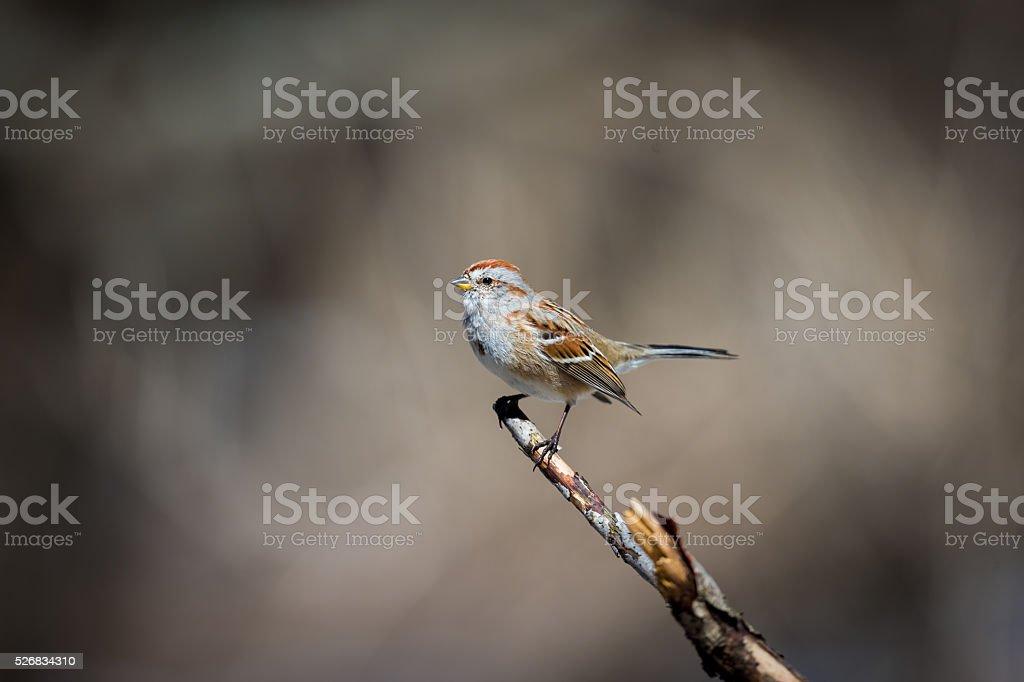Gorrión estadounidense en un bosque de Quebec. - Foto de stock de A ver pájaros libre de derechos
