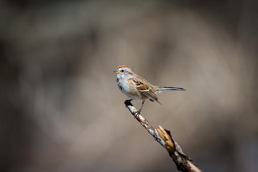 Gorrión Estadounidense En Un Bosque De Quebec Foto de stock y más banco de imágenes de A ver pájaros