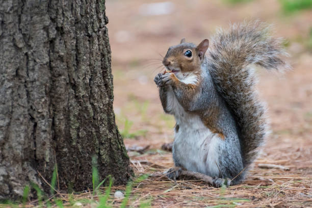 american squirrel - squirrel stock photos and pictures