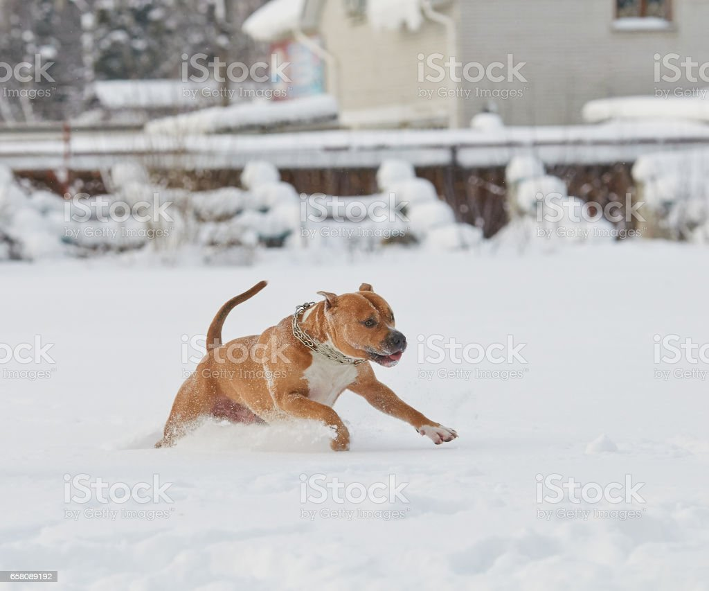 American Stafford shire Terrier in the winter royalty-free stock photo
