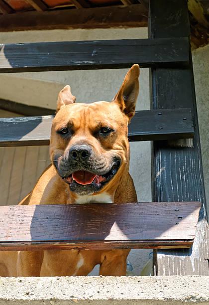 American Staffordshire bull terrier stock photo