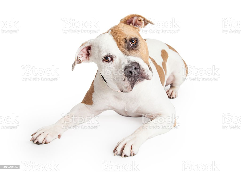 American Staffordshire Dog Laying Tilting Head stock photo