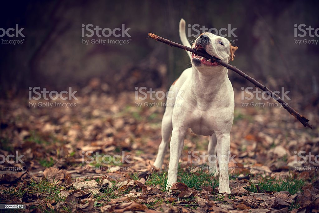 American Staffordshire stock photo