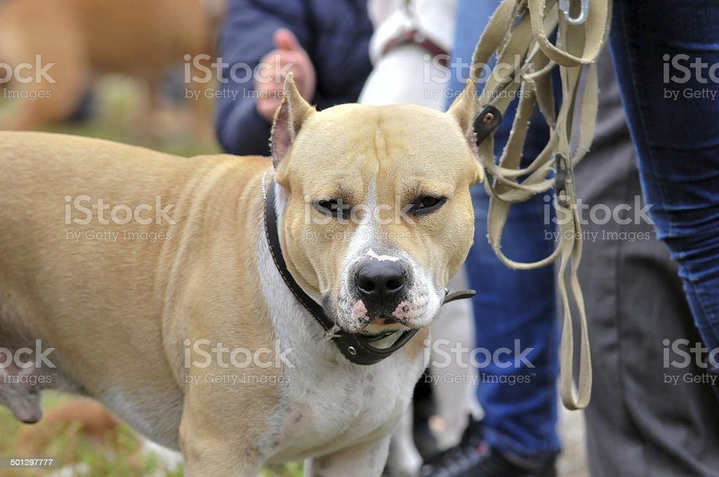 American Staffordshire Terrier. American Pit Bull Terrier. Dog. royalty-free stock photo
