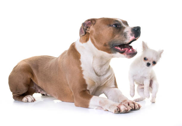 american staffordshire terrier and puppy stock photo