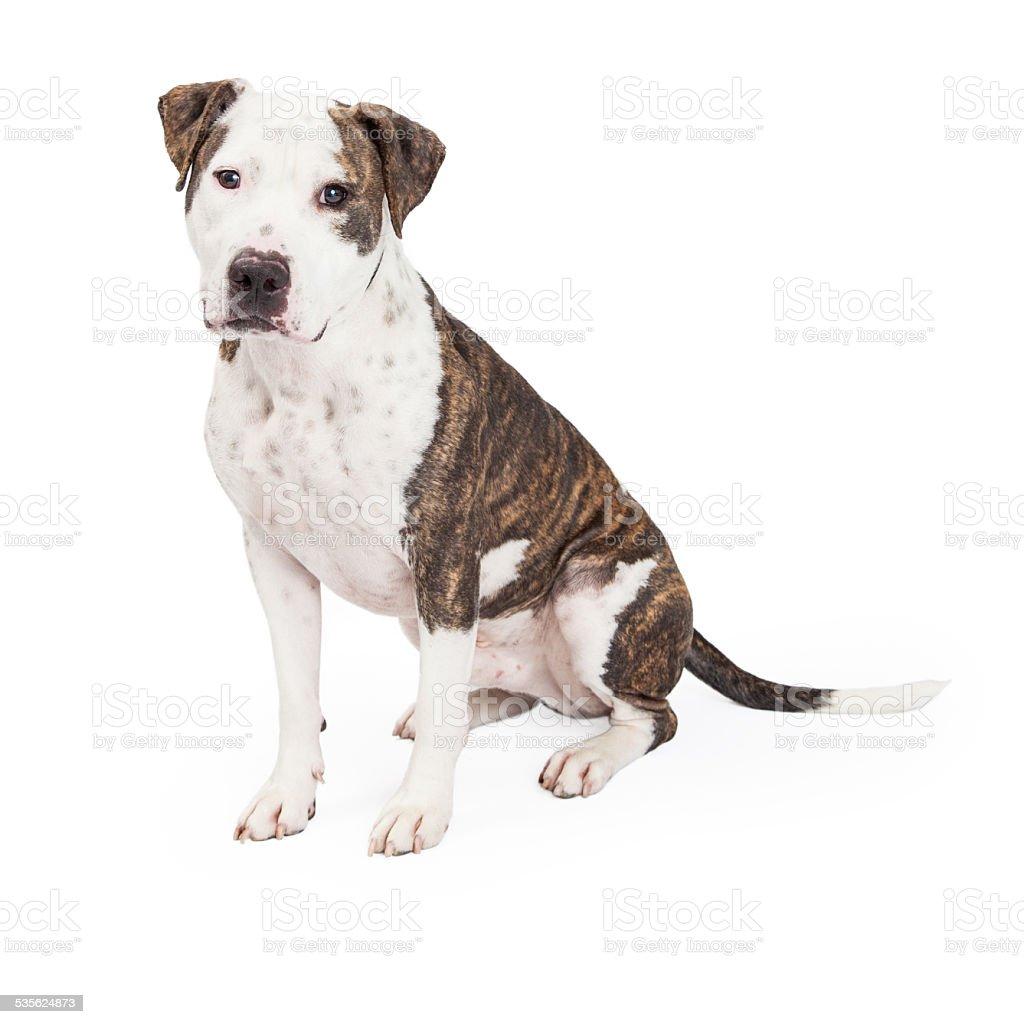 American Staffordshire Terrier Cross Dog Sitting stock photo