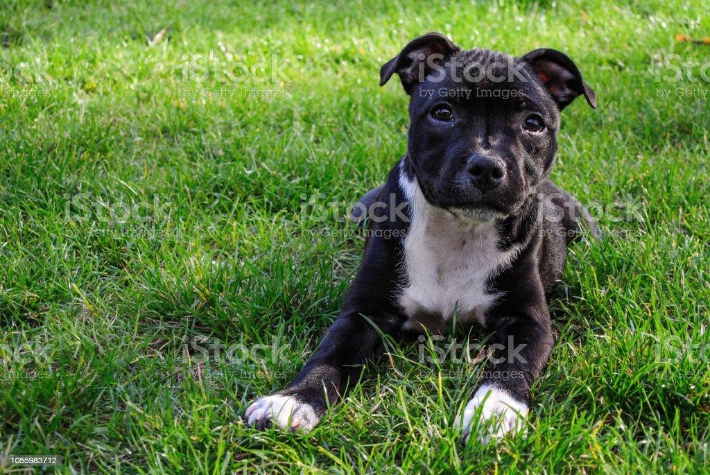 Amerikanischer Staffordshire-Terrier. Niedliche reines Brot Welpen auf grünem Grund. – Foto
