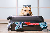 American Staffordshire terrier dog ready to go on a trip this summer vacation. Dog  a sitting behind the suitcase and put his paws on top black suitcase isolated on home background