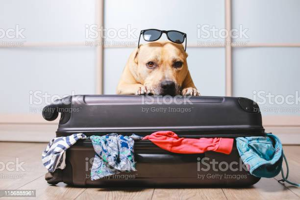 American staffordshire terrier dog in suitcase picture id1156888961?b=1&k=6&m=1156888961&s=612x612&h=p ywcdcdv5dt0xbxfqsobkpwn1ukj21qox4auvs9s0g=