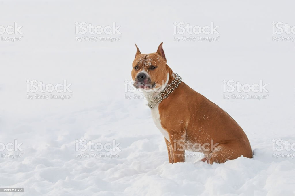 American Staffordshire Terrier dog in the snow royalty-free stock photo