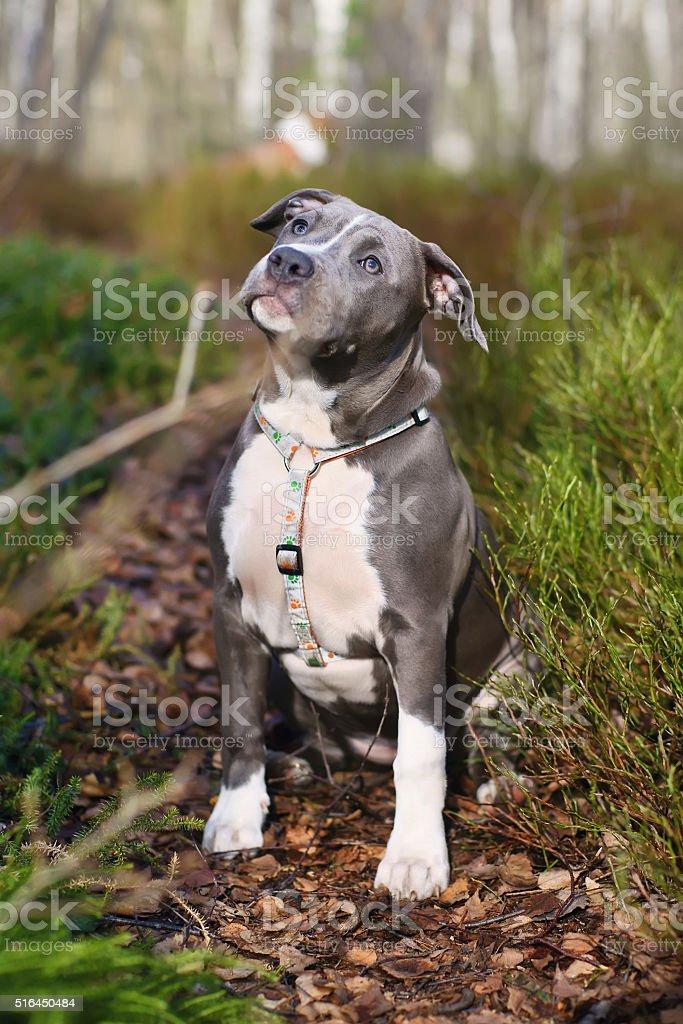 American Staffordshire Terrier dog puppy sitting outdoors in the forest stock photo