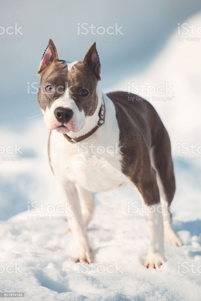 American staffordshire terrier dog running in winter photo libre de droits
