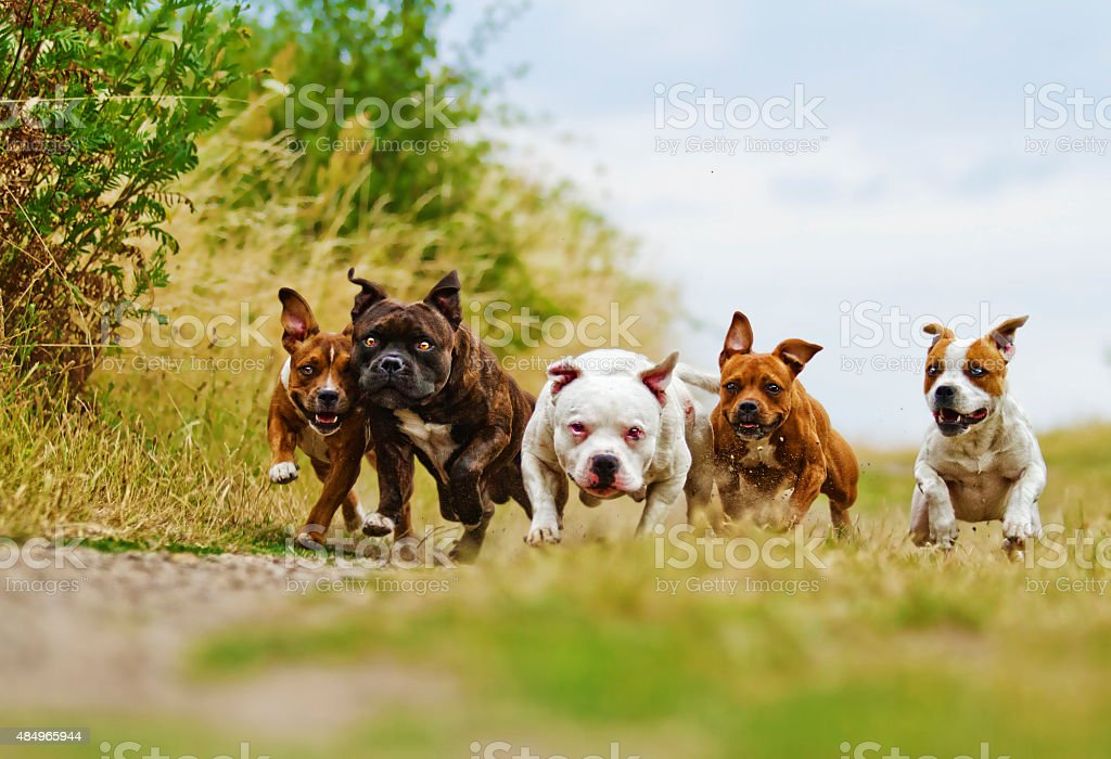American Staffordshire Terrier dog with fun Staffordshire Bull stock photo