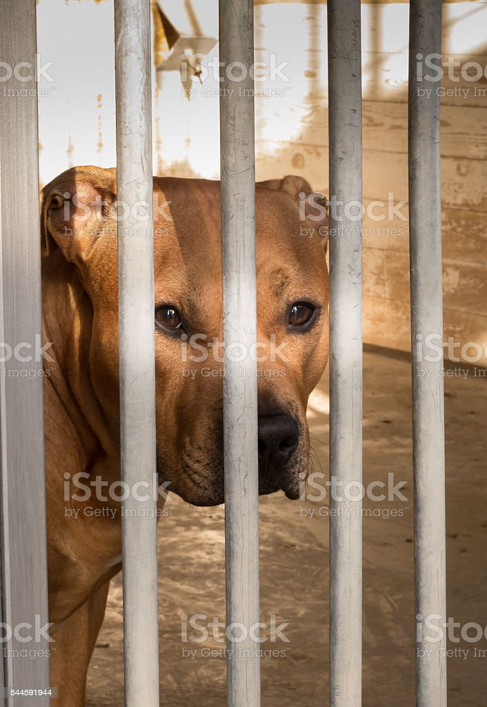American Staffordshire Terrier enclosed II stock photo