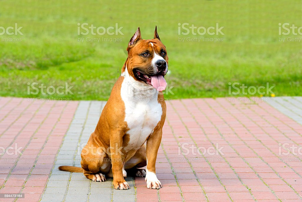 American Staffordshire Terrier fawn and white. stock photo
