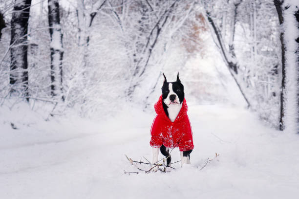 American staffordshire terrier in red jacket in beautiful snowy picture id1186944012?b=1&k=6&m=1186944012&s=612x612&w=0&h=50xjvsf8rs6s09dzynbidewknthve3vmq bjc94v1ca=