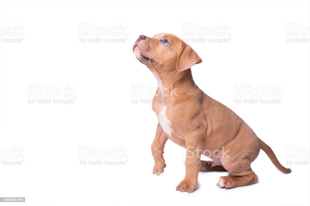 American staffordshire terrier isolated on white stock photo