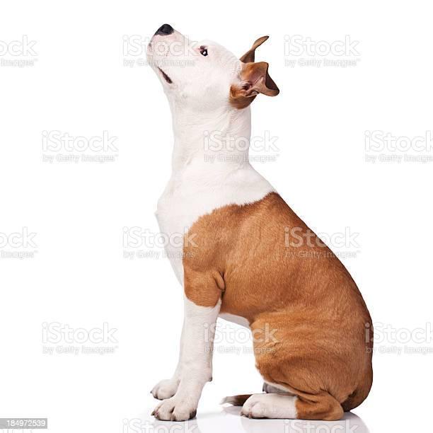 American staffordshire terrier obedience training picture id184972539?b=1&k=6&m=184972539&s=612x612&h=d wgp8 hag2r1f2hpcqq5uobrvfgjz9fmhcktxxfifm=