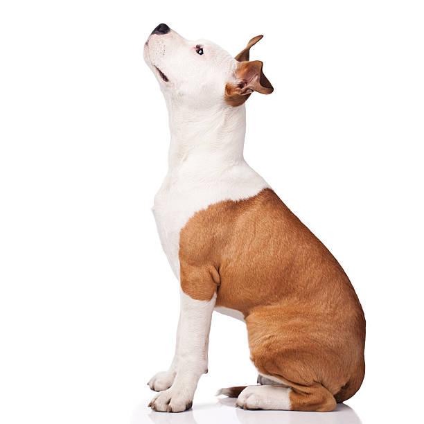 american staffordshire terrier abrichten - pitbull welpen stock-fotos und bilder