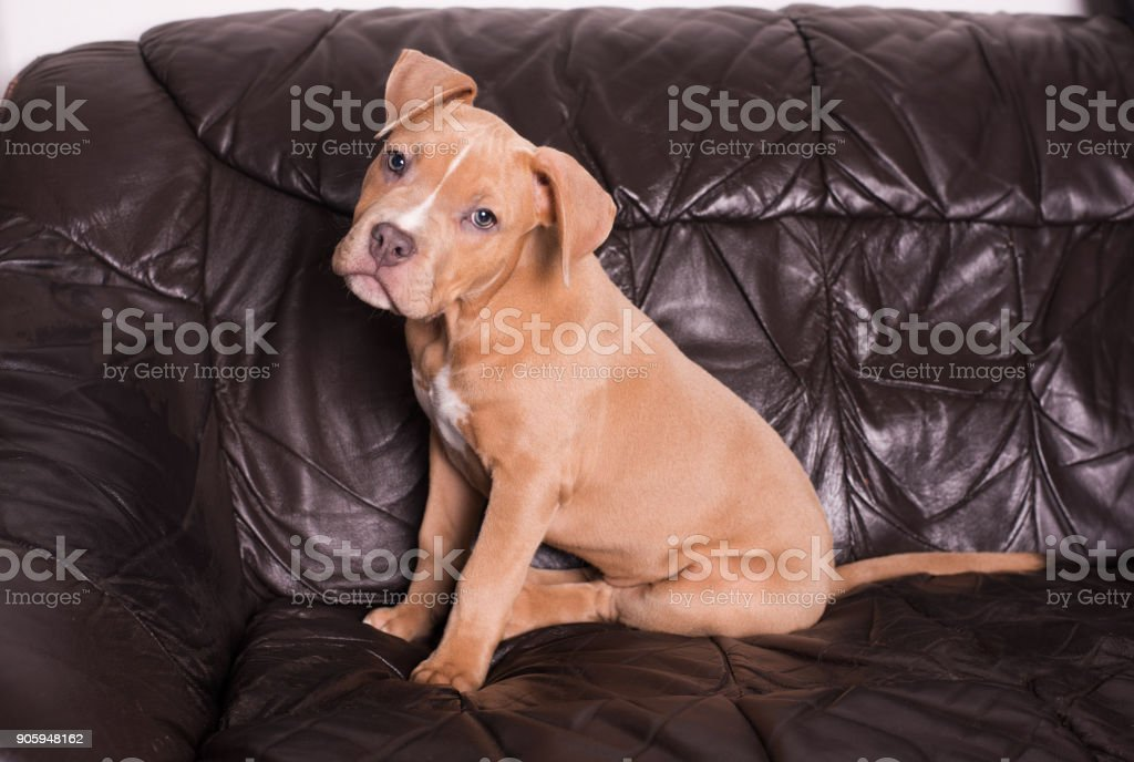 American staffordshire terrier on a leather couch stock photo
