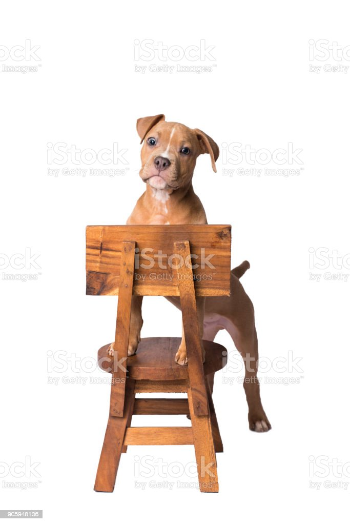 American staffordshire terrier on a white background stock photo