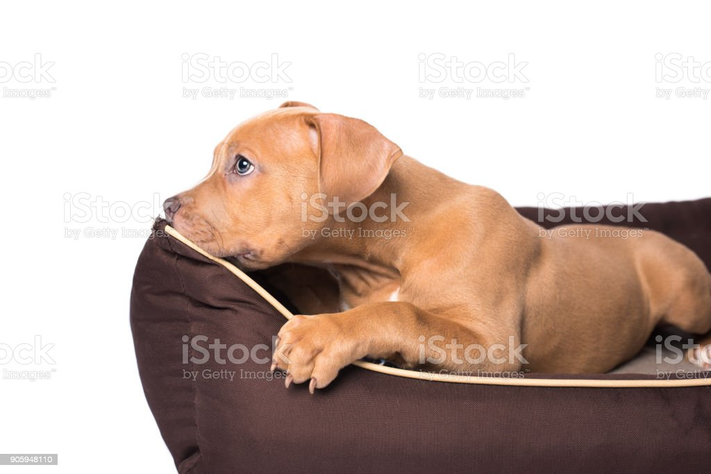 American staffordshire terrier on his bed stock photo