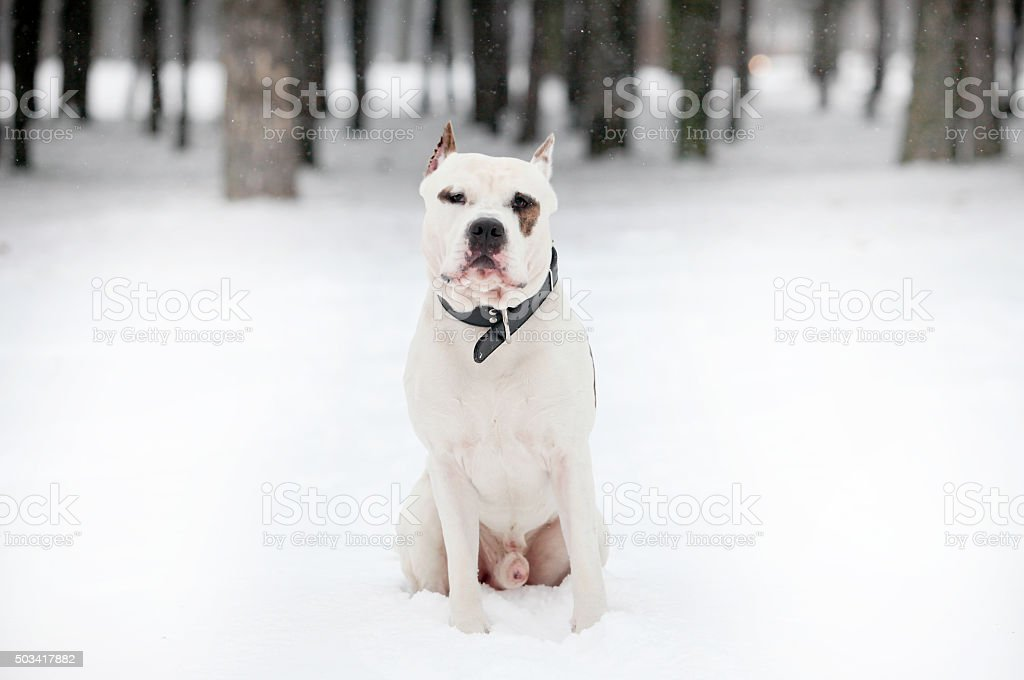 American Staffordshire Terrier on snow stock photo