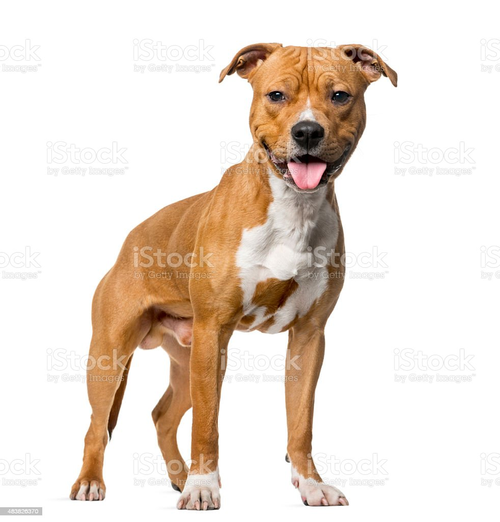 American Staffordshire Terrier (8 months old) stock photo