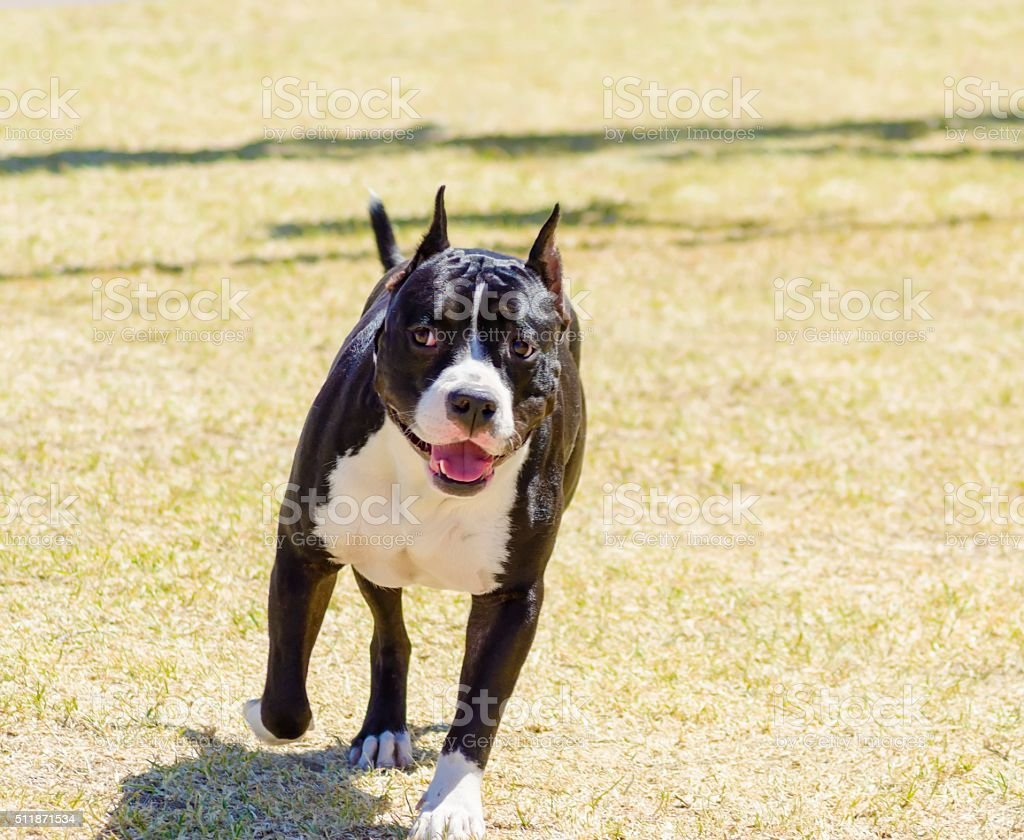 American Staffordshire Terrier stock photo