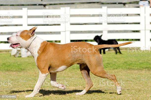 American staffordshire terrier picture id512049480?b=1&k=6&m=512049480&s=612x612&h=unyngugmrubpsgj kkxtf86phkodwu12ewtvcan3ux0=