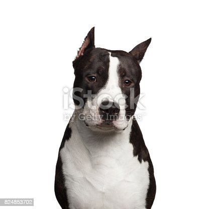 istock American Staffordshire Terrier 824853702