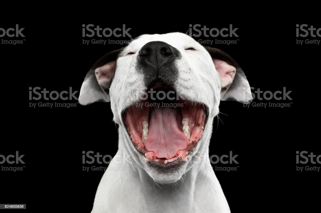 American Staffordshire Terrier  foto royalty-free