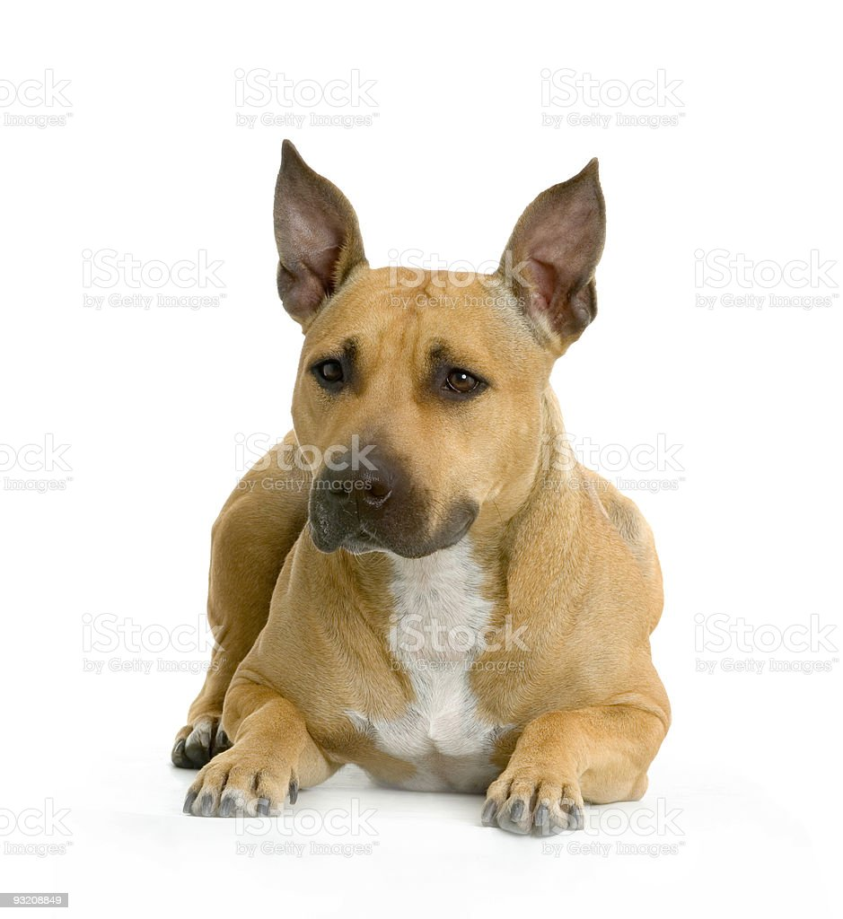 American Staffordshire terrier royalty-free stock photo