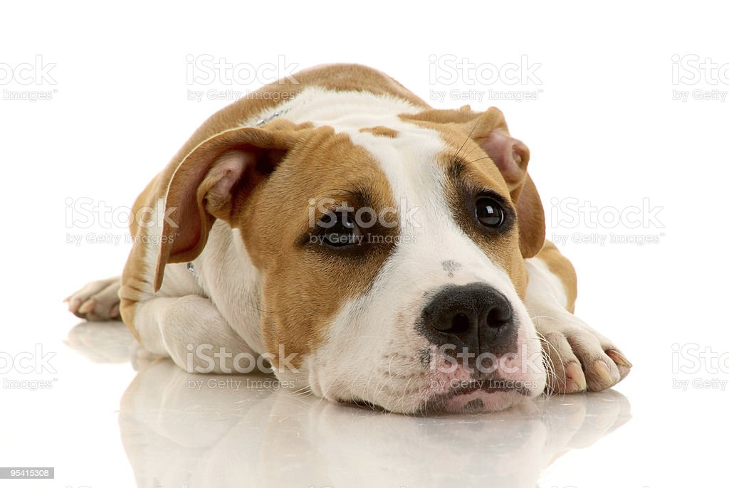 American Staffordshire terrier Lizenzfreies stock-foto