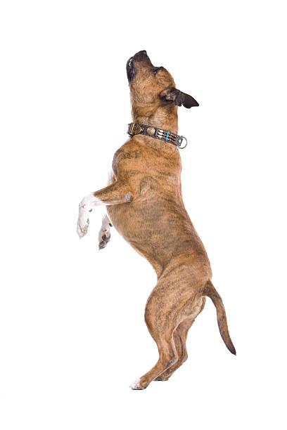 American staffordshire terrier picture id97686030?b=1&k=6&m=97686030&s=612x612&w=0&h=byuf6bikemtwbqtowoagovqzrmhje8euti4lmntsras=